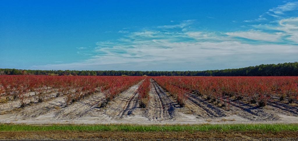 Hammonton Blueberries
