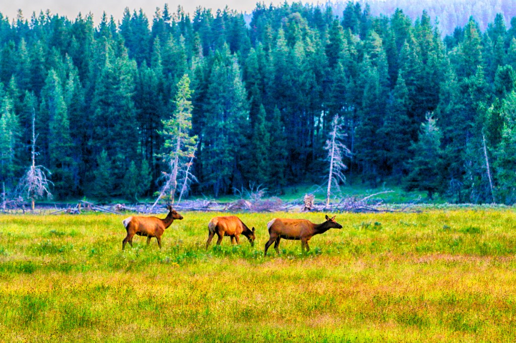 Pronghorn_Hayden Valley_072919_MG_9795